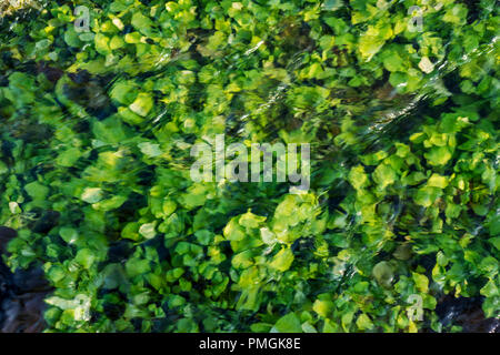 cress plants growing in the river's running water - Stock Photo
