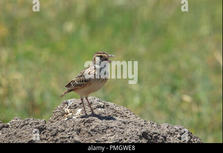 The rufous-naped lark or rufous-naped bush lark is a widespread and conspicuous species of lark in the lightly wooded grasslands and open savannas. - Stock Photo