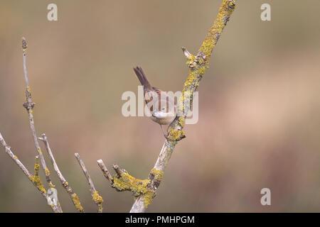 Common Whitethroat (Sylvia communi) - Stock Photo