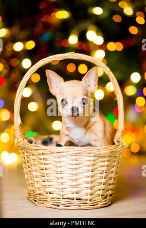 A dog of the Chihuahua breed sits in a basket near the New Year tree with garlands - Stock Photo