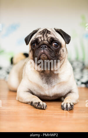 Puppy of the Pug breed lies on its coverlet next - Stock Photo