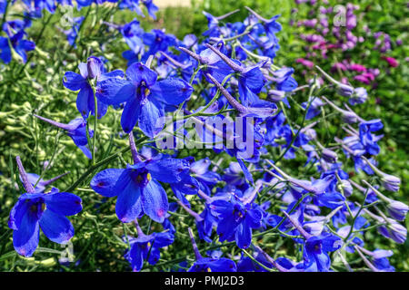 Chinese Delphinium, Delphinium grandiflorum 'Gentian Blue', garden flowers border - Stock Photo