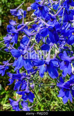 Chinese Delphinium, Delphinium grandiflorum 'Gentian Blue' - Stock Photo