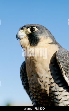 Peregrine falcon (captive; Falco peregrinus) at the World Center for Birds of Prey, Boise, Idaho USA - Stock Photo