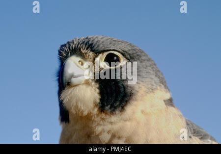 Peregrine falcon (captive; Falco peregrinus) at the World Center for Birds of Prey, Boise, Idaho USA - Stock Photo