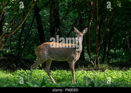 European roe deer (Capreolus capreolus) female / doe hiding in undergrowth / thicket / brushwood of forest in summer - Stock Photo