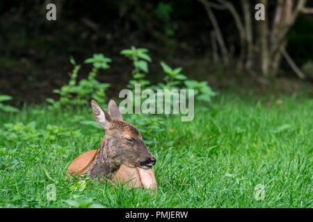 European roe deer (Capreolus capreolus) female / doe resting in undergrowth / thicket / brushwood of forest in summer - Stock Photo