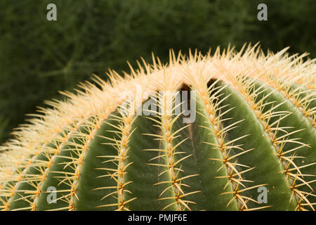 Close up on the top crown of echinocactus grusonii, a cactus also known as  known as the golden barrel cactus or mother-in-law's cushion - Stock Photo