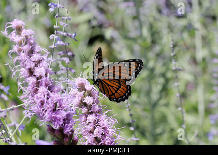 A Viceroy butterfly (Limenitis archippus), a Müllerian mimic of the Monarch butterfly, feeding on Liatris spicata in a New England flower garden - Stock Photo