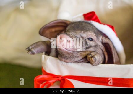 Christmas and new year card with cute newborn santa pig in gift present box. Decorations symbol of the year Chinese calendar. fir on background. Holid - Stock Photo