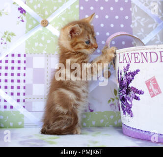 ginger kitten, 6 weeks old, red tabby classic - Stock Photo