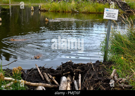 A landscape image of beaver pond with two beavers (Castor canadensis), swimming in the water and a sign that asks please do not break the beaver dam - Stock Photo