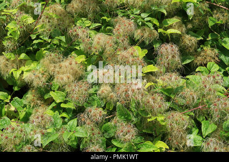 Old mans beard also known as Clematis Vitalba - Stock Photo