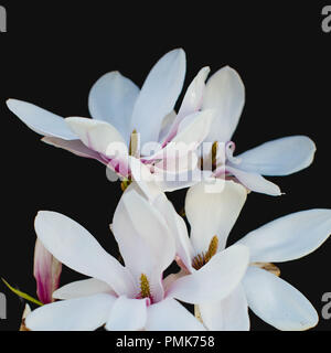 Magnolia (Soulangeana, Saucer Magnolia) - close up of petals and flowers isolated against a black background - Stock Photo