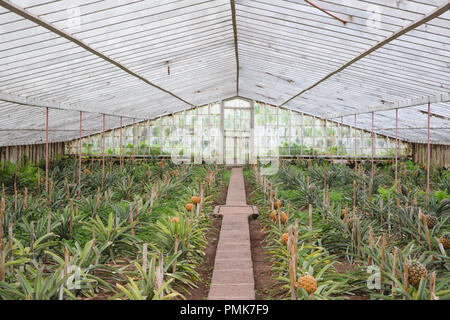 Pineapples (ananas) growing in rows on the Arruda Pineapple Plantation on the island of Sao Miguel in the Azores - Stock Photo