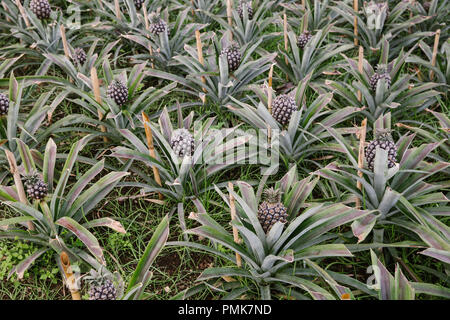Close up of pineapple plants (ananas) growing in rows on a pineapple plantation (pineapple farm)  in the Azores - Stock Photo
