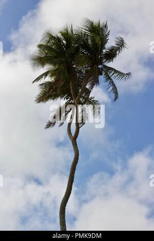 A rare three headed coconut tree on Tongatapu island, Tonga - Stock Photo