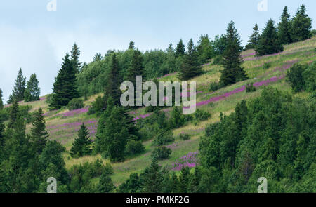 A hill side in Alaska turns purple with the annual late summer blooming of fireweed. - Stock Photo