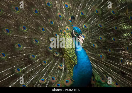 Portrait of a peacock, Indonesia - Stock Photo