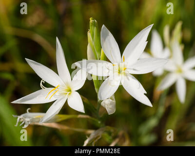 Star like white autumn flowers of the South African Kaffir lily, Hesperantha coccinea 'Alba'