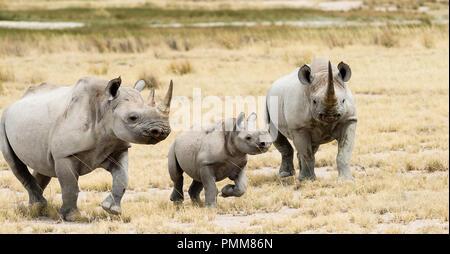 Rhino family walking in the bush, South Africa - Stock Photo