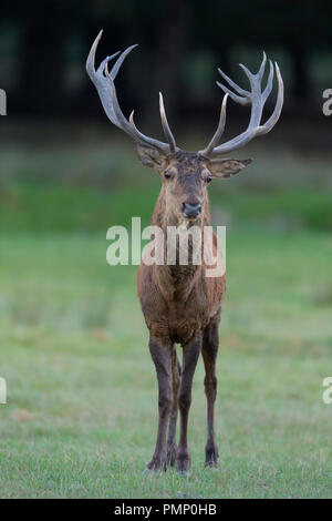 Red Deer, Cervus elaphus, Rutting Season, Germany, Europe - Stock Photo
