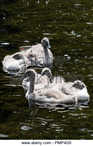 A family group of cygnets on the River Stour at Blandford Forum, Dorset, England, UK - Stock Photo