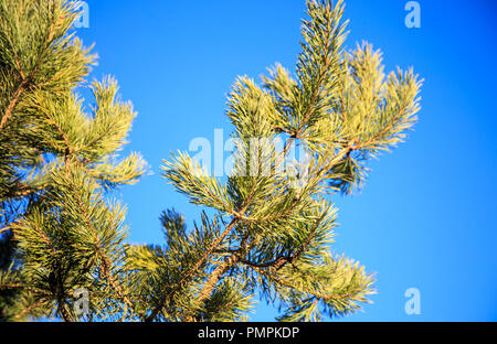 Fresh colorful green leaves on pine tree from bottom view with bright summer blue sky background - Stock Photo