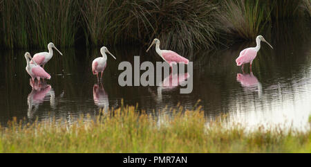 The Roseate Spoonbill is an unusual and unique wading bird found in the southern United States - Stock Photo