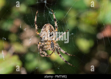 OrbWeaver spider (Araneus Diadematus, European Garden Spider, Diadem Spider, Cross Spider) on a web in Autumn in the UK. Spider closeup. Spider macro. - Stock Photo