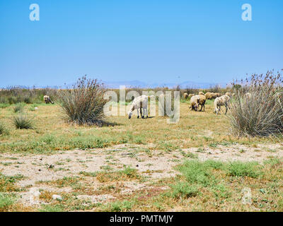 A flock of sheep grazing on a pasture at a mediterranean landscape. - Stock Photo