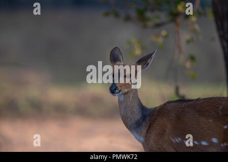 Female bushbuck listening to a sound behind her - Stock Photo
