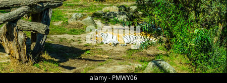 striped tiger lying down and sleeping in a green nature landscape - Stock Photo