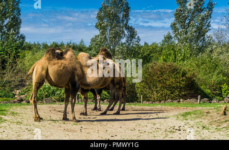 group of double bumped camels standing together in a nature landscape - Stock Photo