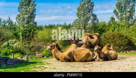 group of camels with double hunches sitting down together and one standing - Stock Photo