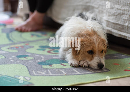 Day view sad jack russel dog laying on carpet indoor. - Stock Photo