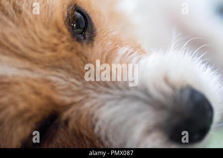 Sad jack russel dog laying on carpet indoor closeup. - Stock Photo