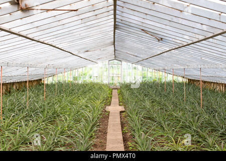 Pineapple plants growing in rows on the Arruda Pineapple Plantation in Sao Miguel in the Azores - Stock Photo