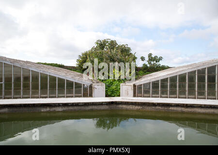 Banana tree growing in the space between two greenhouses (hot houses) on the Arruda Pineapple Plantation in the Azores - Stock Photo