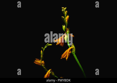 beautiful orange lily flowers and buds on green stems isolated on black background - Stock Photo