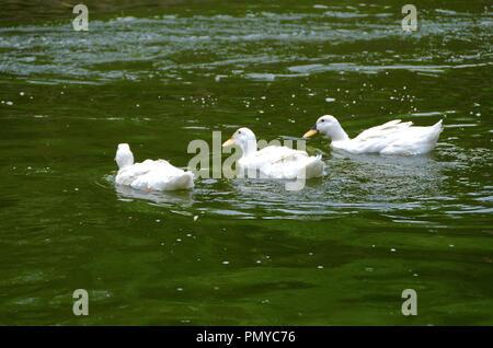 Three white Pekin ducks in a line, Beijing, china - Stock Photo