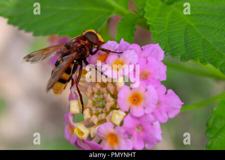Volucella zonaria, Hornet mimic hoverfly, morning, September 2018, Andalucia Spain - Stock Photo