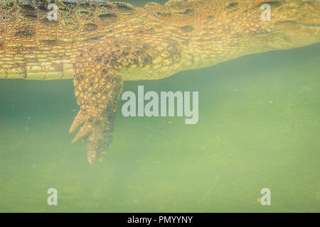 Crocodile leg while swimming under water and waiting for prey - Stock Photo