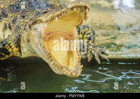 Crocodile open jaws ready to strike - Stock Photo