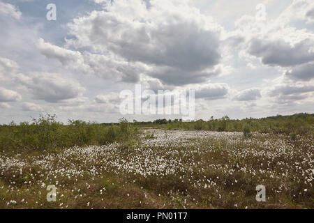 Common cottongrass, Eriophorum angustifolium, and Sphagnum bog Crowle Moor nature reserve one of the richest lowland peat vegetation areas in the nort - Stock Photo