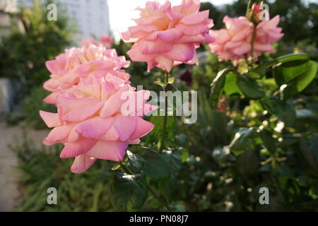 pink flowers Roses on green background n - Stock Photo