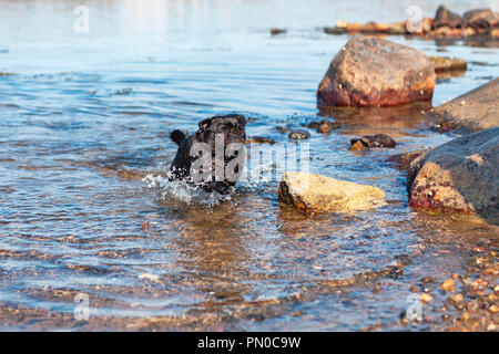 Small happy black pug dog running fast in the water at rocky beach in summer - Stock Photo