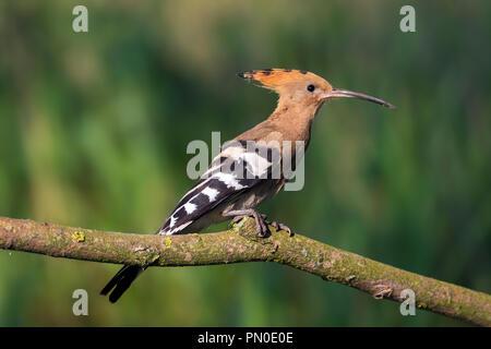 Eurasian hoopoe (Upupa epops) perched on branch