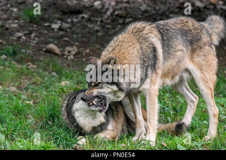 Dominant gray wolf / grey wolf (Canis lupus) grabbing pack member by the muzzle to confirm a relationship - Stock Photo