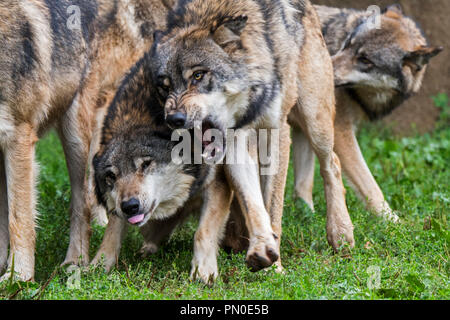 Two aggressive gray wolves / grey wolves (Canis lupus) fighting while snarling with bared canines for dominance - Stock Photo